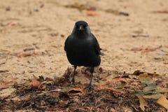 Птица галки на пляже Стоковое фото RF