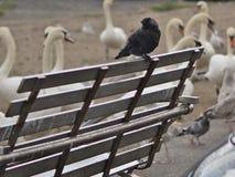 Птица галки на стенде в дожде Стоковые Фото