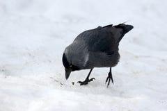 Птица галки ищет еда в снеге Стоковые Фотографии RF