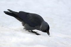 Птица галки ищет еда в снеге Стоковое Изображение RF