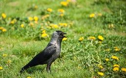 Птица галки с открытым клювом идет на лужайку Стоковые Фото