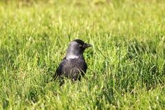 Птица галки черная в зеленой траве Стоковое Изображение RF