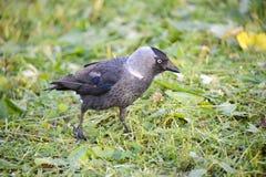 Птица галки Стоковые Изображения