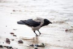 Птица галки Стоковые Фото
