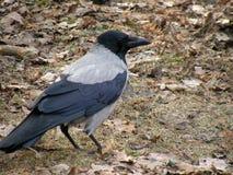 Птица галки Стоковая Фотография