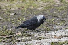 Птица галки, monedula Corvus, на земном портрете, селективный фокус Стоковая Фотография RF