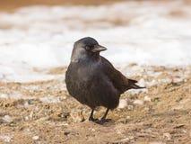 Птица галки, monedula Corvus, на земле с льдом, селективный фокус, отмелый DOF Стоковое Изображение