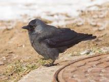 Птица галки, monedula Corvus, на земле с льдом, селективный фокус, отмелый DOF Стоковые Фото
