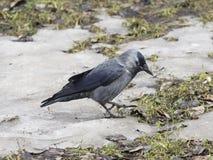 Птица галки, monedula Corvus, на земле с льдом, селективный фокус Стоковая Фотография