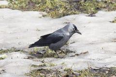 Птица галки, monedula Corvus, на земле с льдом, селективный фокус Стоковые Фотографии RF