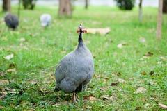 Птица Гвинеи на лужайке Стоковые Фотографии RF