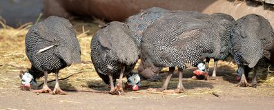 Птица Гвинеи Стоковое Фото
