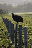 Птица Гвинеи Стоковая Фотография RF
