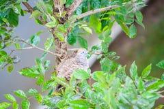 Птица голубя зебры на ветви дерева Стоковые Изображения RF