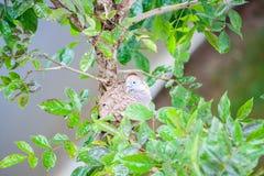 Птица голубя зебры на ветви дерева Стоковое Изображение