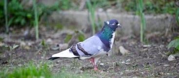 Птица голубя на огороде задворк Стоковые Фото