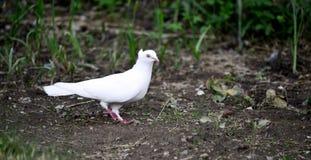 Птица голубя на огороде задворк Стоковое Изображение RF