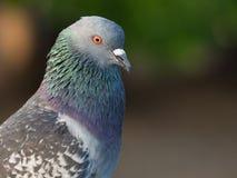 птица голубя на парке города Стоковая Фотография