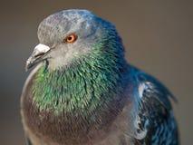 птица голубя на парке города Стоковые Фото