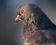 птица голубя на парке города Стоковая Фотография RF