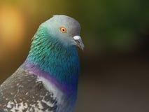 птица голубя на парке города Стоковое Фото
