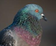 птица голубя на парке города Стоковое Изображение