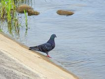 Птица голубя около воды, Литвы стоковое фото