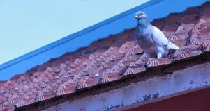 Птица голубя садится на насест на крыше с предпосылкой голубого неба Стоковые Фотографии RF