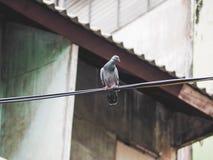 Птица голубя сидит Стоковая Фотография RF