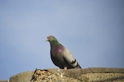 Птица город голубя сидит на крыше Стоковые Изображения RF