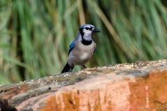 Птица голубого Джэй, Афины, Georgia Стоковые Изображения RF