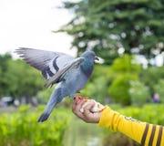 Птица голубя в парке Стоковые Фото