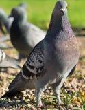 Птица голубя в парке Стоковое Фото