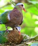 Птица голубя изумруда Стоковые Фото