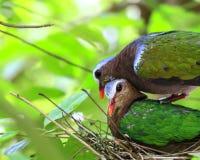 Птица голубя изумруда Стоковое Изображение