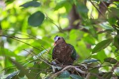 Птица голубя изумруда Стоковые Изображения