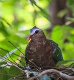 Птица голубя изумруда Стоковая Фотография RF