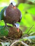 Птица голубя изумруда Стоковое Изображение RF