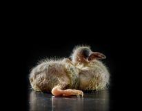 птица голубя 5 младенцев дней лежа на черной предпосылке Стоковое Изображение