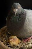Птица голубя насиживая в домашней просторной квартире Стоковые Изображения RF