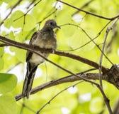 Птица голубя на ветви дерева Стоковая Фотография