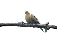 Птица голубя на ветви дерева Стоковая Фотография RF