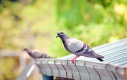 Птица голубя на крыше Стоковая Фотография