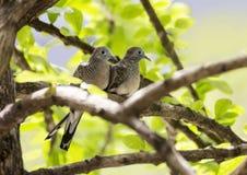 Птица голубя пар на ветви дерева Стоковые Изображения RF