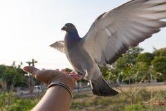 Птица голубя подавая на человеческой руке Стоковое Изображение