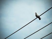 Птица голубя сидит на электрическом электрическом кабеле Стоковая Фотография RF