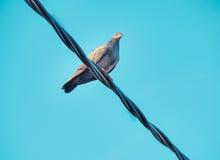 Птица голубя сидит на электрическом электрическом кабеле Стоковое Изображение