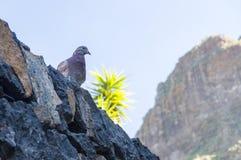Птица голубя сидя на каменной стене Стоковые Фотографии RF
