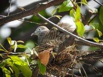 Птица голубя спать в гнезде на дереве Стоковая Фотография RF