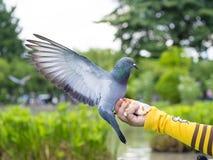 Птица голубя стоя на руке женщины Стоковые Фото